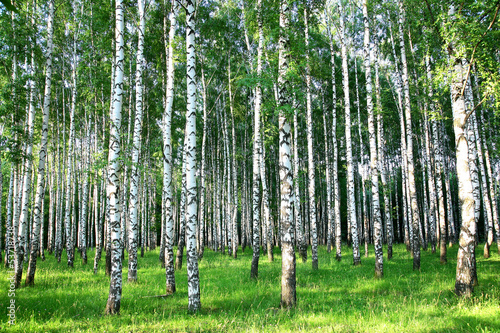 Fotobehang Meest verkochte foto's Beautiful summer birch grove in the evening sunlight