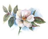 Watercolor -Dog Rose-