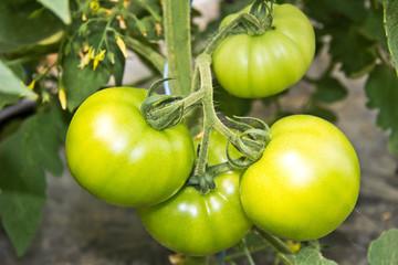 tomato (love aple)