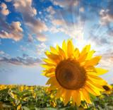 Fototapeta Sunflower against beautiful sky with sunbeam / summer