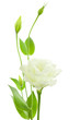 Delicate White Flowers Background with Buds /  Eustoma ( Lisiant
