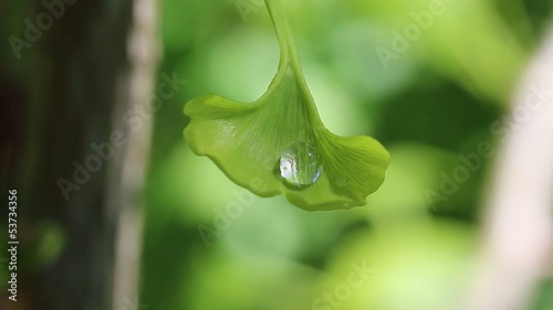 A drop of dew on leaf of ginkgo