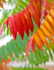 Essigbaum im Herbst, Rhus typhina, Herbstfarben