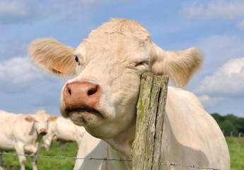 vache se frottant à un poteau