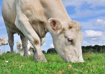 vache broutant l'herbe