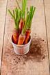 fresh carrots bunch in white bucket