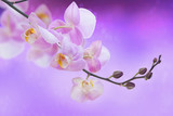Orchid on purple background. Phalaenopsis.