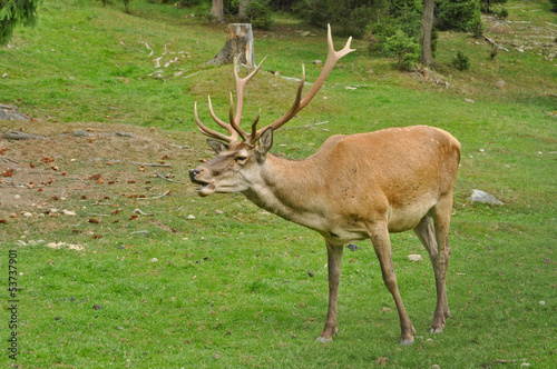 Male deer on the meadow