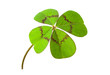 canvas print picture - four-leafed clover