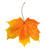 bright autumn maple leaf isolated on white