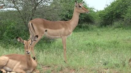 Flock of impala antelope
