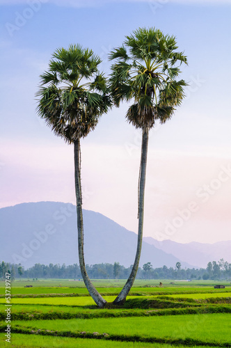 A pair of palmyra trees on the rice field, An Giang, Vietnam