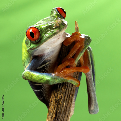 red eyed treefrog macro isolated exotic frog curious animal brig