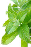 branch of fresh mint isolated on white close-up