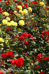 Red and yellow rose bushes.