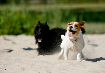 Scottish Terrier and Jack Russell Terrier playing