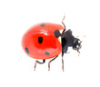 ladybug on a white background. macro