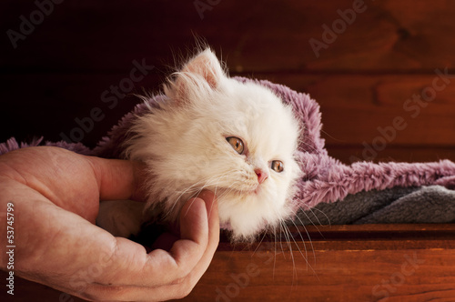 Adorable white Persian kitten