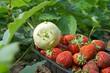 Kohlrabi und Erdbeeren