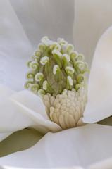 Magnolia grandiflora flower detail