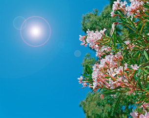 oleanders on a clear day