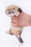 small rodent ferret poster