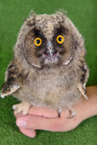 young bird owl