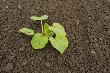 Closeup of a young Cucumber plant in soil