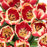 Tulip Beauty