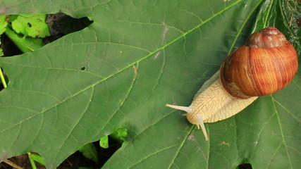 Snail on a leaf. Close up