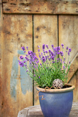 Lavendel als Kübelpflanze