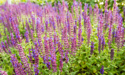 Purple flowering Woodland sage plants