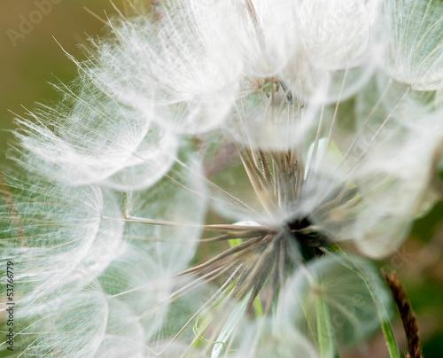 Large dandelion flowers parachutes