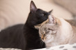 Two cute domestic short hair cats snuggle with one another