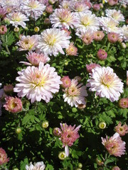 Chrysanthemum multiflora flowers and buds