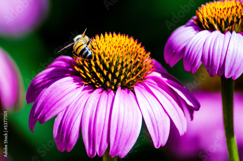 Pink Coneflower (Echinacea) and bee