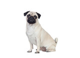 Nice pug carlino dog with white hair