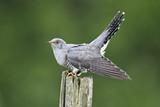 Fototapeta Cuckoo, Cuculus canorus