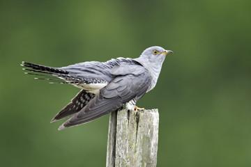 Cuckoo, Cuculus canorus