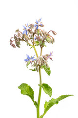 Borretsch (Borago officinalis)  Blätter und Blüten