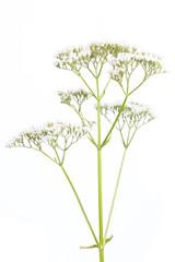 Baldrian (Valeriana officinalis) - Blüte auf weißem Hintergrun
