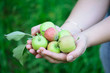 Female hands holding green apples.