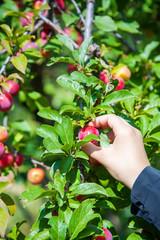 raccolta delle prugne biologiche senza pesticidi