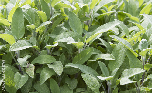 Sage plant growing in herb garden