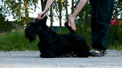 preparation for the exhibition Scottish Terrier