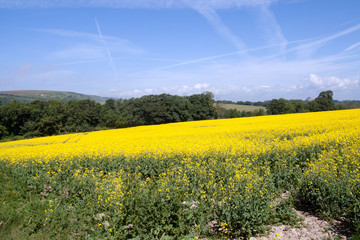 Airplanes lines in sky over rape-seed