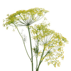 Dill flower isolated on white