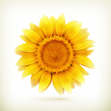 Fototapety Sunflower, high quality vector illustration
