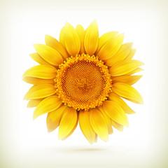 Sunflower, high quality vector illustration