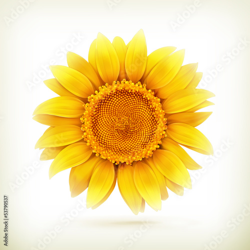 Sunflower, high quality vector illustration